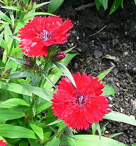 Dianthus chinensis, sommarnejlika